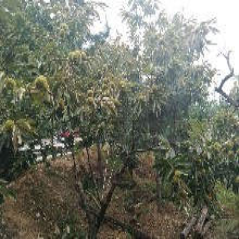 山東青島1公分泰山海豐板栗苗土地到期只求賣出幾月份種植成活率高圖片