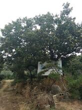 山東濟南泰山石豐板栗苗多少錢一棵種植要領圖片