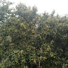 山東東營1公分泰山海豐板栗苗五年苗多少錢一棵栽培養護圖片