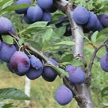 味馨杏李树苗几月份种植成活率高图片