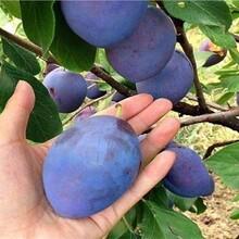 山东枣庄美国杏李树苗2米高多少钱一棵几月份种植成活率高图片