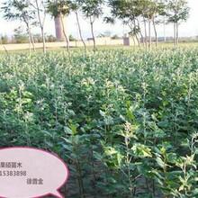 山东潍坊风味皇后杏李树苗适合什么地方种植图片