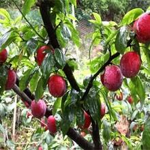 山东烟台风味玫瑰杏李树苗种植方法种?#24067;?#26415;图片