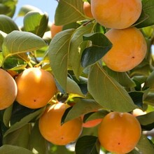 山东潍坊5公分甜柿子树适合什么地方种植?#35745;? onerror=