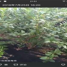 山东青岛兔眼蓝莓苗土地到期只求卖出修剪技术图片