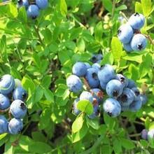 山东枣庄都克蓝莓苗2米高多少钱一棵栽培养护图片