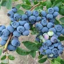 山东枣庄都克蓝莓苗2米高多少钱一棵几月份种植成活率高图片