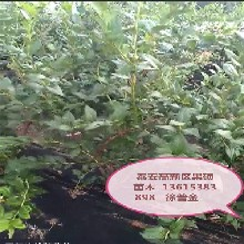 山东烟台都克蓝莓苗种植方法种植技术几月份种植成活率高图片