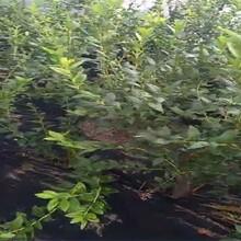 山东烟台兔眼蓝莓苗种植方法种植技术种植要领图片