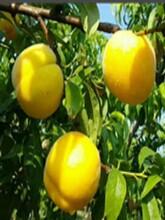 山东潍坊春雪桃树苗适合什么地方种植几月份种植成活率高图片