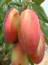 山东潍坊早熟桃树苗适合什么地方种植结果早丰产性强图片