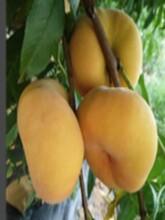 山东青岛永莲蜜桃9号黄贵妃桃树苗土地到期只求卖出应该如何种植图片