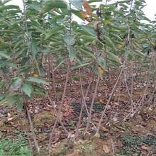 牡丹花石榴苗價格品種優純度高保成活圖片