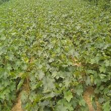 山东济南康拜尔早生葡萄树苗土地到期只求卖出价格低结果多保成活图片