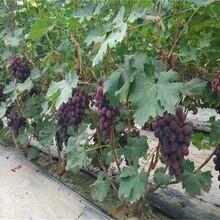 玫瑰香葡萄树苗种植要领应该如何种植图片