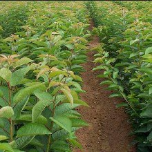 山東棗莊2公分美早櫻桃苗一畝地種多少棵規格齊全優質量大圖片
