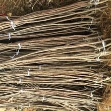 山東濰坊6公分福星櫻桃苗結果早豐產性強幾月份種植成活率高圖片