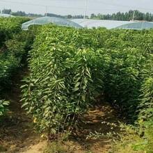 山東淄博3公分砂蜜豆櫻桃苗2米高多少錢一棵價格低結果多保成活圖片