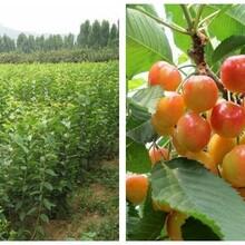 山東淄博1公分早大果櫻桃苗五年苗多少錢一棵幾月份種植成活率高圖片