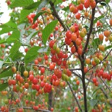 山東棗莊7公分布魯克斯櫻桃苗種植要領種植要領圖片