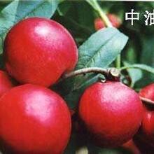 北京石景山区风味皇后油蟠桃苗栽培养护图片