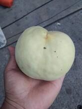 北京东城区风味皇后油蟠桃苗种植要领规格齐全优质量大图片