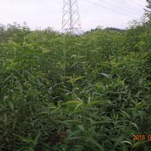 北京市金蟠7-12桃树苗2米高多少钱一棵图片