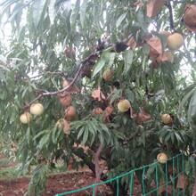 北京石景山区风味皇后油蟠桃苗品种优纯度高保成活图片