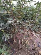 3公分無花果樹苗品種優純度高保成活圖片