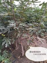 金傲芬無花果樹苗優質苗批發當年掛果的樹苗圖片