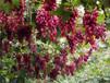河北省唐山市無核白葡萄樹苗土地到期只求賣出附近哪里出售