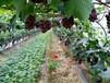 無核白葡萄樹苗如何種植好
