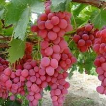 莎巴珍珠葡萄树苗果树苗批发图片