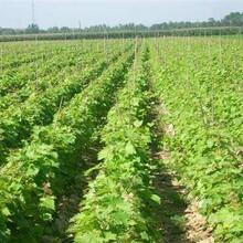河北省唐山市葡萄树苗土地到期只求卖出根系发达现挖现卖图片