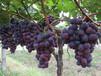 河北省石家莊市無核白葡萄樹苗多少錢一棵如何種植好