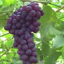 河北省承德市玫瑰香葡萄树苗优质苗批发品种优纯度高保成活图片