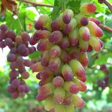河北省承德市葡萄园皇后葡萄树苗优质苗批发当年挂果的树苗图片