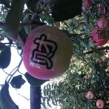 河北省唐山市黄元帅苹果树苗土地到期只求卖出果树苗批发图片