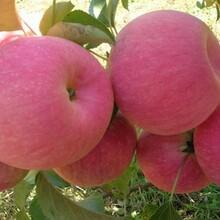河北省张家口市红将军苹果树苗特优果树苗果树苗购买找山东果硕苗木图片