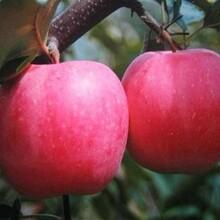 河北省承德市红富士苹果树苗优质苗批发品种优纯度高保成活图片