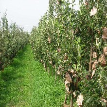 河北省邯郸市澳洲青苹苹果树苗大型育苗基地现货供应果树苗批发图片