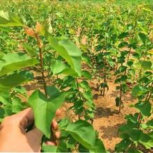 河北省唐山市山杏樹苗土地到期只求賣出品種優純度高保成活圖片