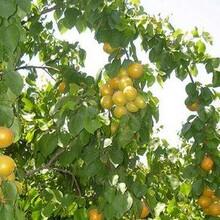 河北省石家莊市杏樹苗報價多少錢一棵當年掛果的樹苗圖片