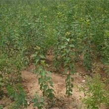 河北省唐山市杏樹苗報價土地到期只求賣出如何種植好圖片