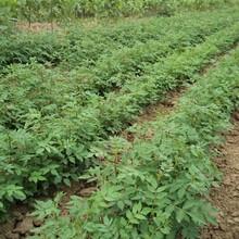 河北省承德市無刺花椒苗優質苗批發當年掛果的樹苗圖片