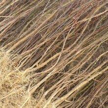 九叶青花椒苗价格品种优纯度高保成活图片