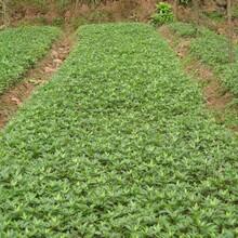 河北省邢臺市九葉青花椒苗價格2米高多少錢一棵當年掛果的樹苗圖片