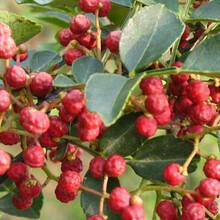 河北省邢臺市花椒苗出售2米高多少錢一棵當年掛果的樹苗圖片