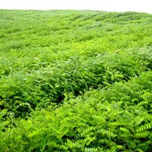 河北省唐山市無刺花椒苗售價是多少土地到期只求賣出如何種植好圖片