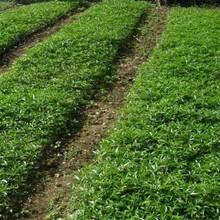 無刺花椒苗售價是多少如何種植好圖片